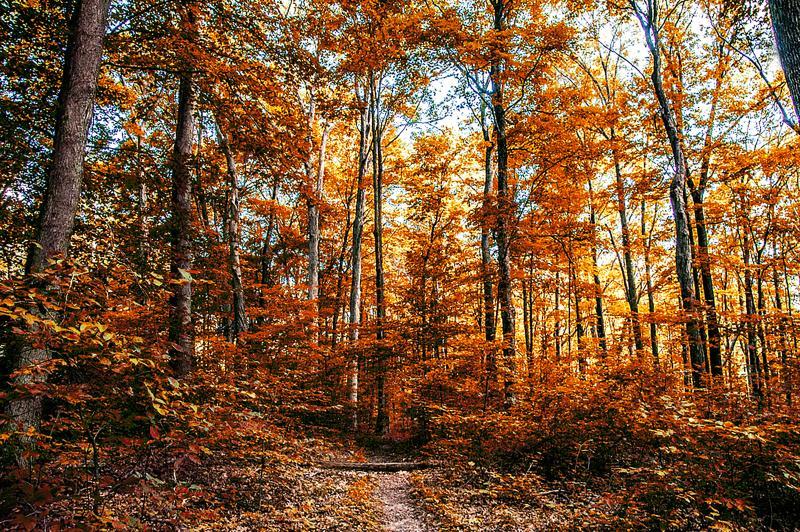 Scarlet Oak Woods during fall