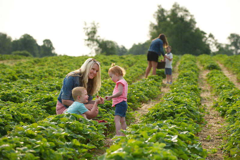 Mother and kids picking strawberries at Huber's