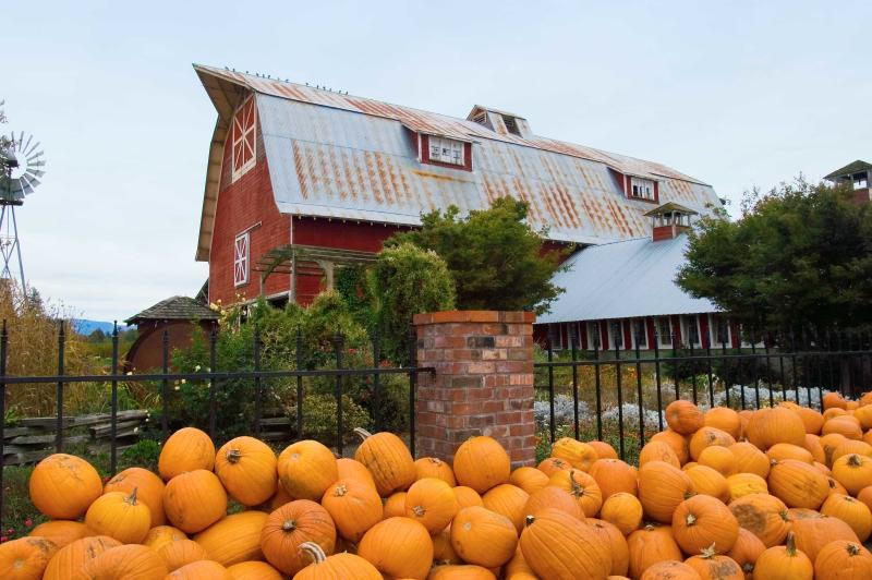 Large pumpkins sit in front of a big red barn and a windmill at Thistledown Farm