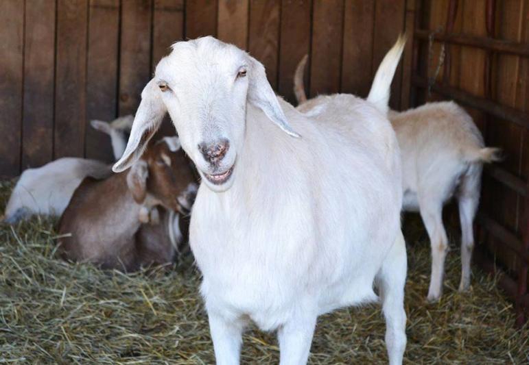 Sheep at Lollypop Farm