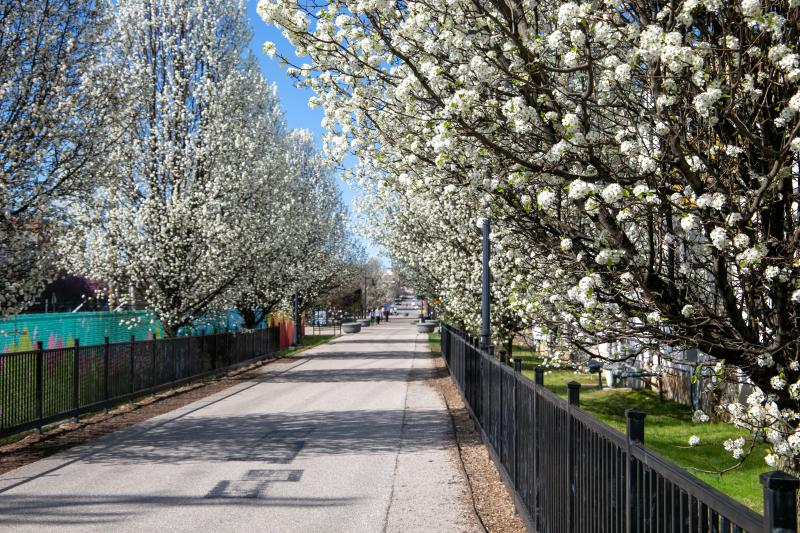 Bloom-filled trees adorn Bloomington's B-line trail in spring.