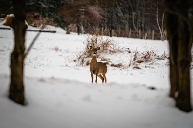 Winter Deer Image