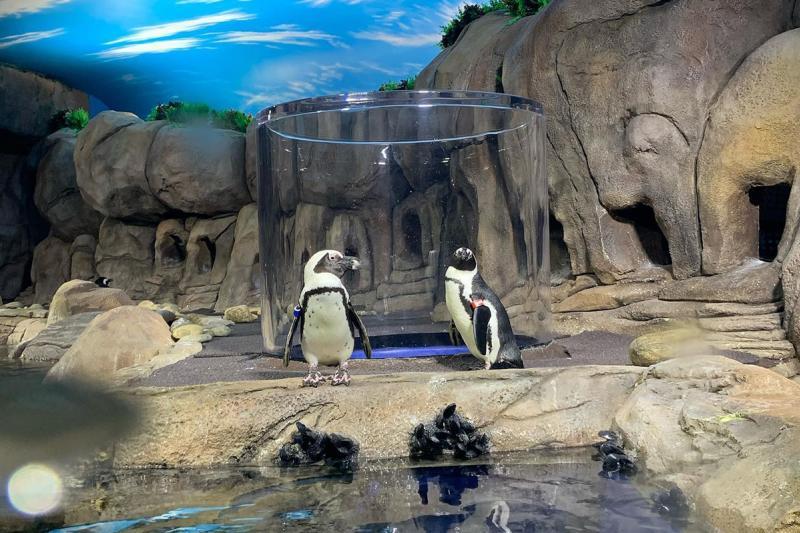 Ripley's Aquarium Penguin Encounter, Visit Myrtle Beach, SC