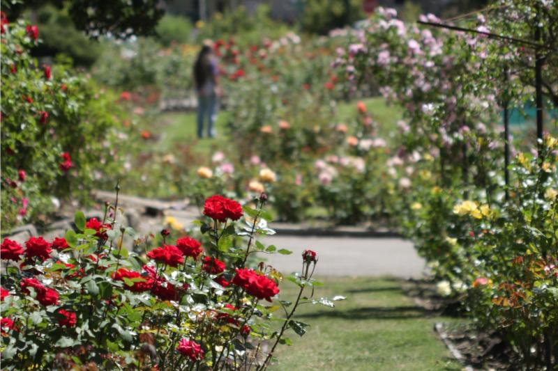 Morcom Rose Garden in bloom with all colors.