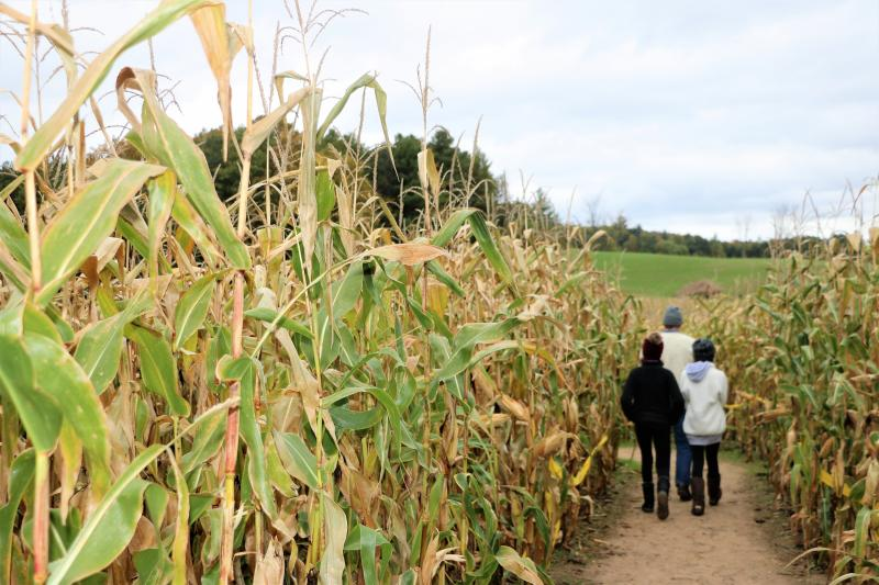 Three people walking through a Corn Maze in Traverse City, MI