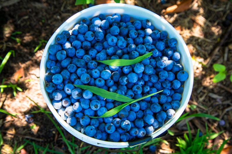 Pungo%20Blueberries