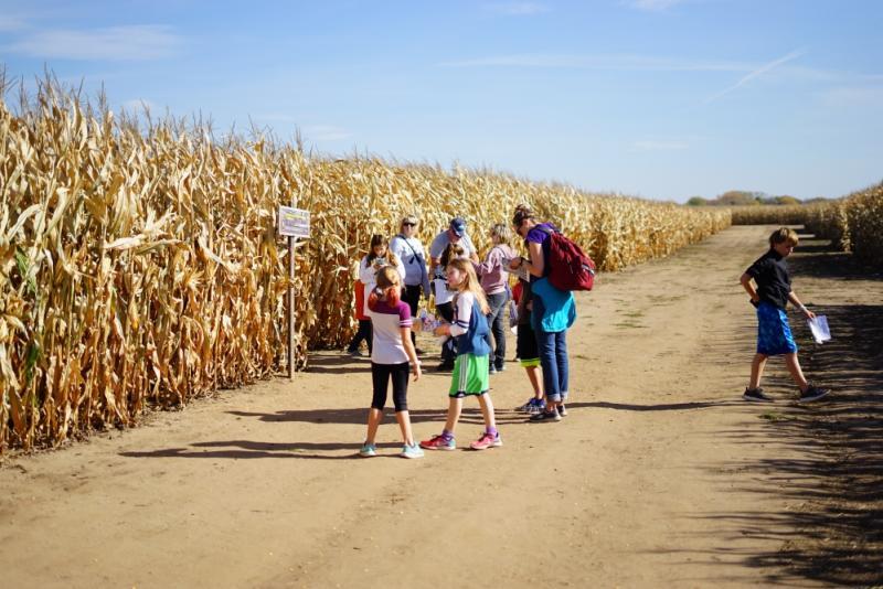 Family group wandering a corn maze