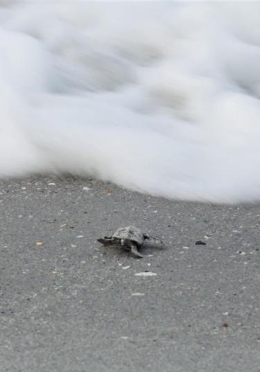 Loggerhead Sea Turtle Begins New Life.