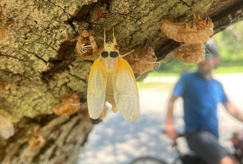 Freshly molted cicada