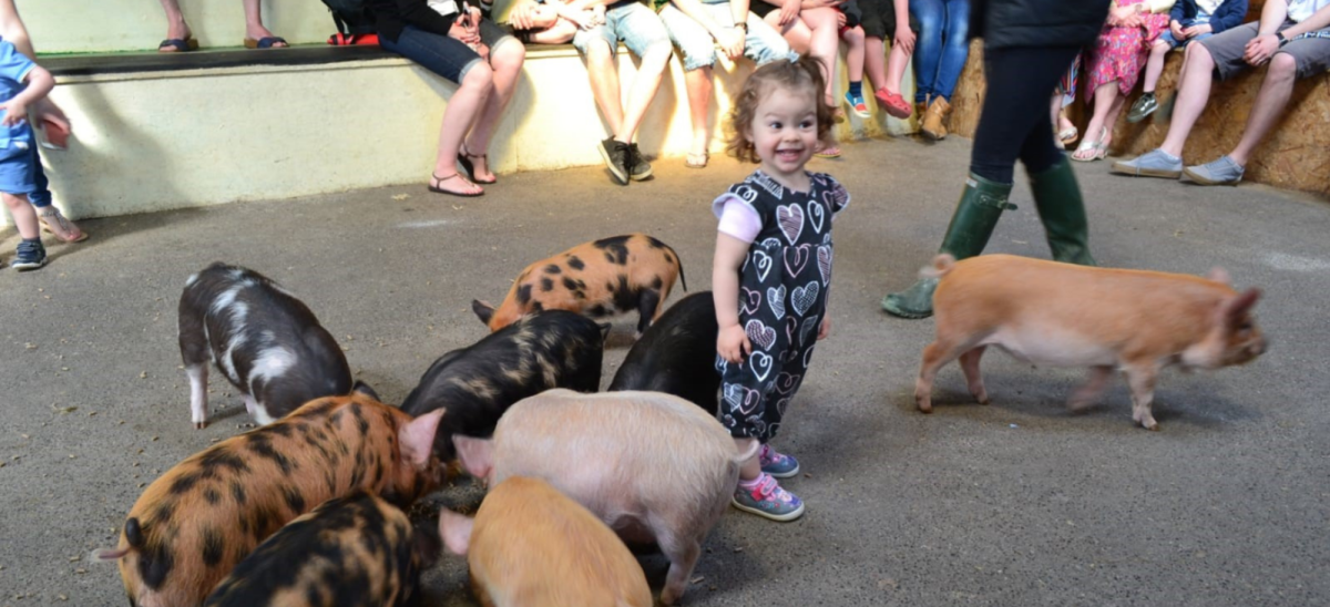 Child with Pigs at Farmer Palmers in Dorset