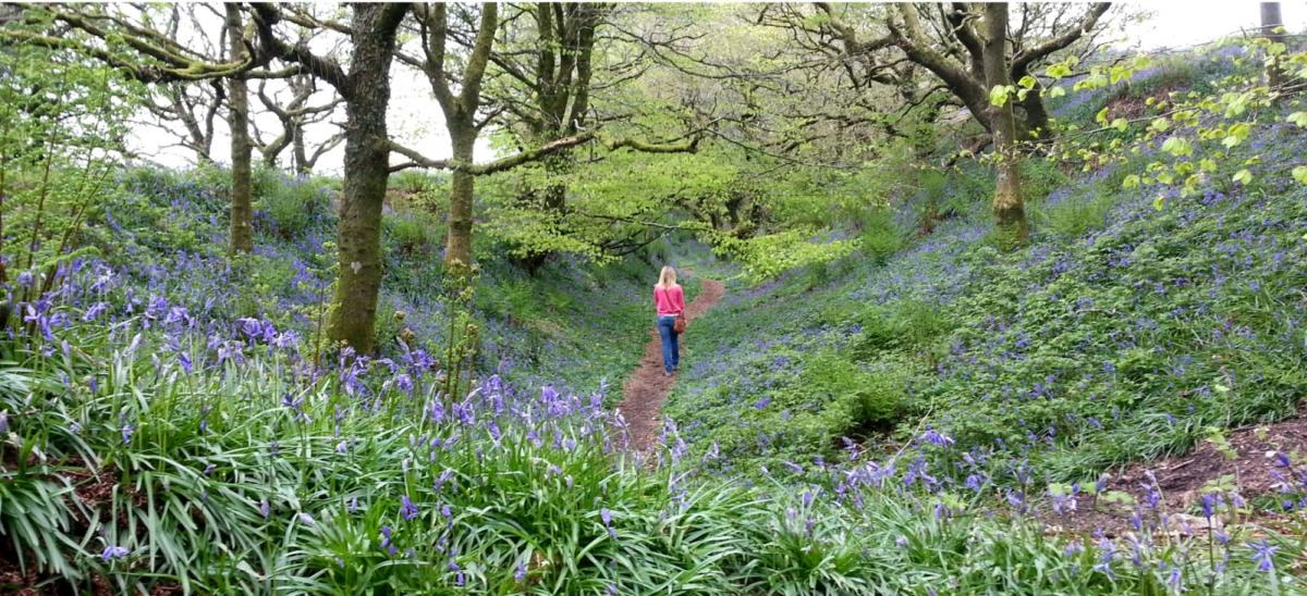 Woman walking through bluebell woods at Coney's Castle, Dorset