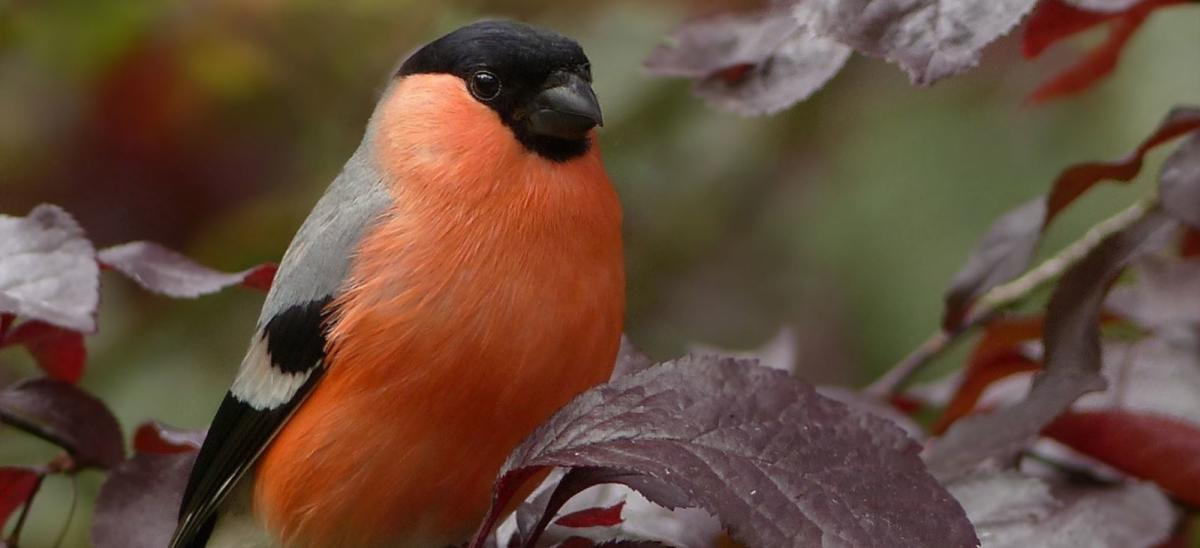 Bullfinch bird on tree