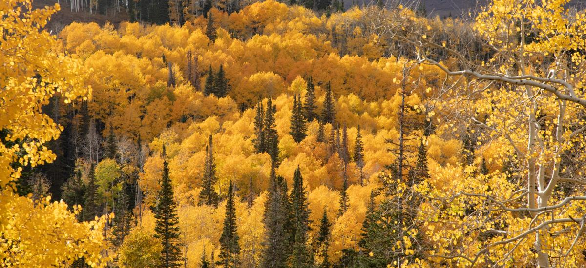 Lady Morgan Lift in Deer Vally, Yellow Aspen Trees and Green Pine trees