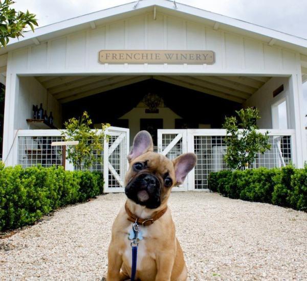 dog at Frenchie Winery (Raymond Vineyards)
