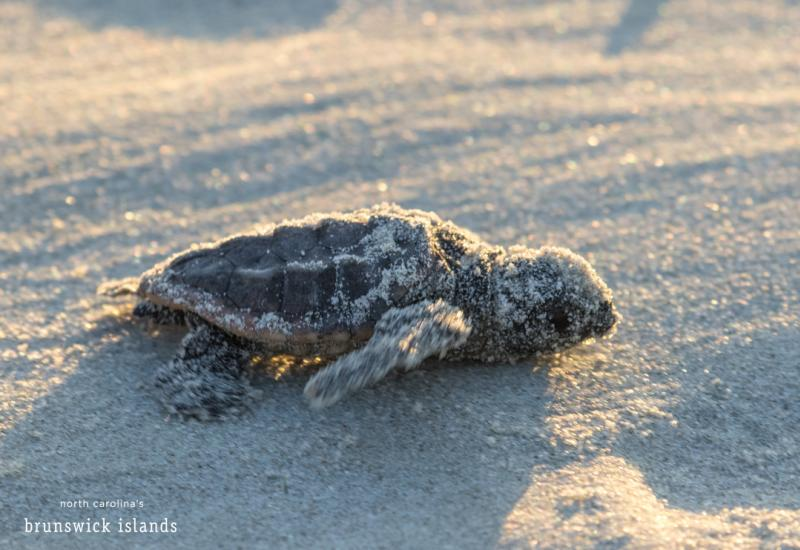 A newly-hatched baby sea turtle scurries towards the beach to begin a life in the open ocean