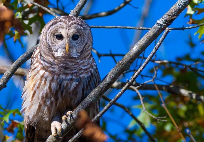 An owl perched in a tree at the Muscatatuck National Wildlife Refuge