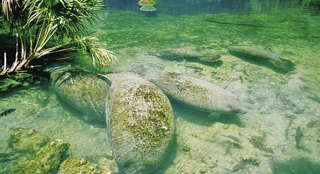 Manatees at Homosassa Springs