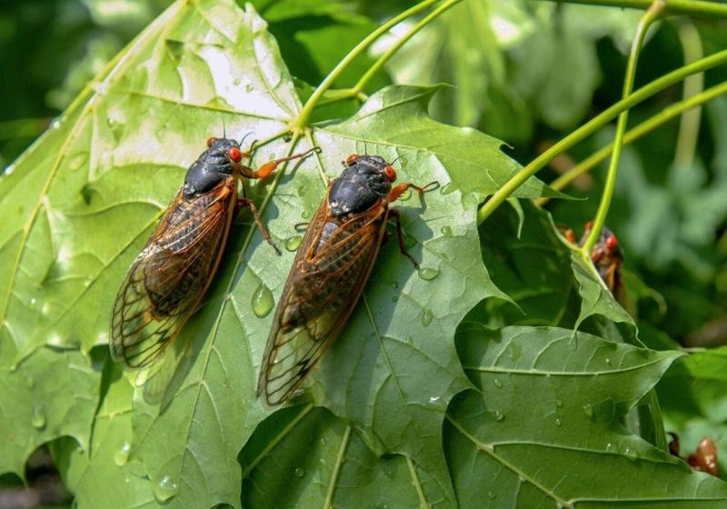 Multiple Brood X cicadas sitting on tree leaves