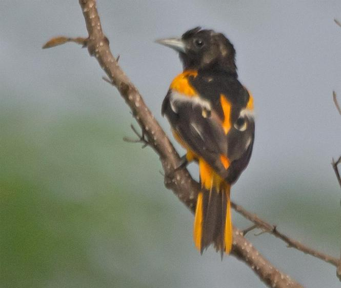 An Oriole perches on a branch at Davidsonville Park.