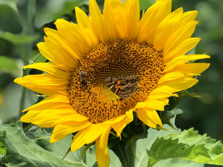 A bee and a butterfly share a sunflower in a field