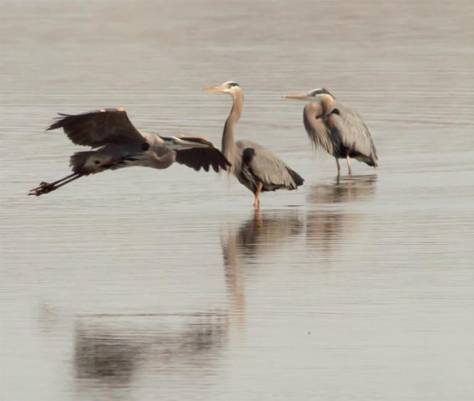 A trio of Great Blue Heron in the waters off Jug Bay.