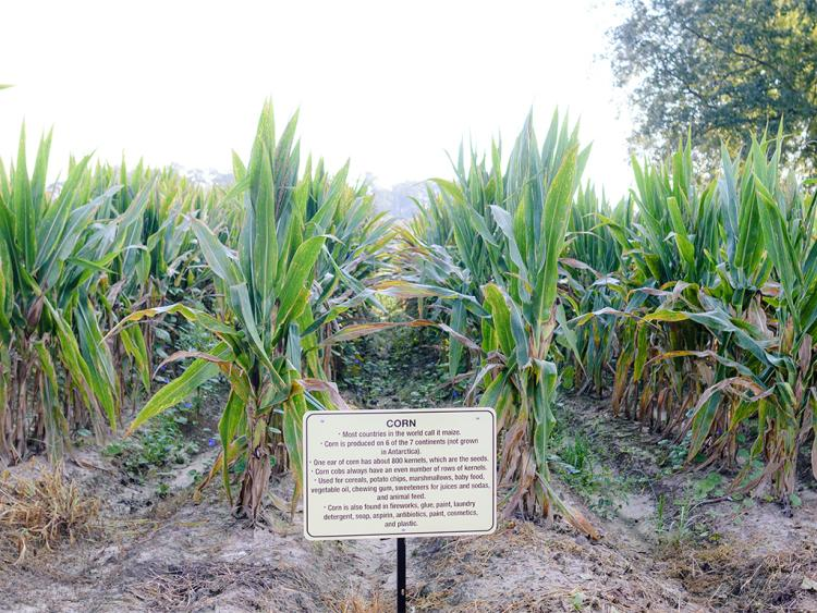 Learn about growing corn at Sonlight Farms in Kenly, NC.