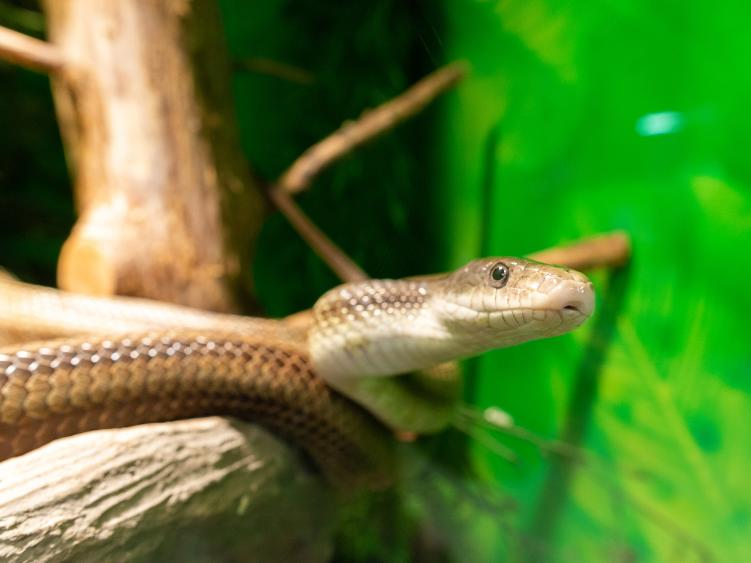 A corn snake looks at the camera from their habitat at Howell Woods