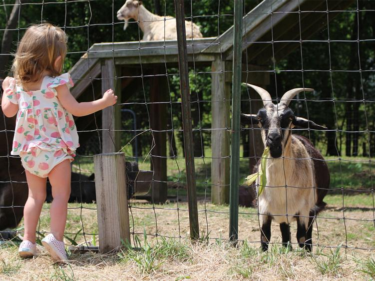 Small child looking at the goats at Smith's Farm near Benson, NC.