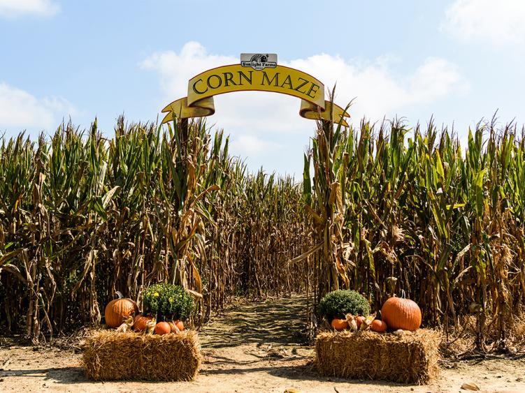 Enjoy a trip around the corn maze at Sonlight Farms in Kenly NC.