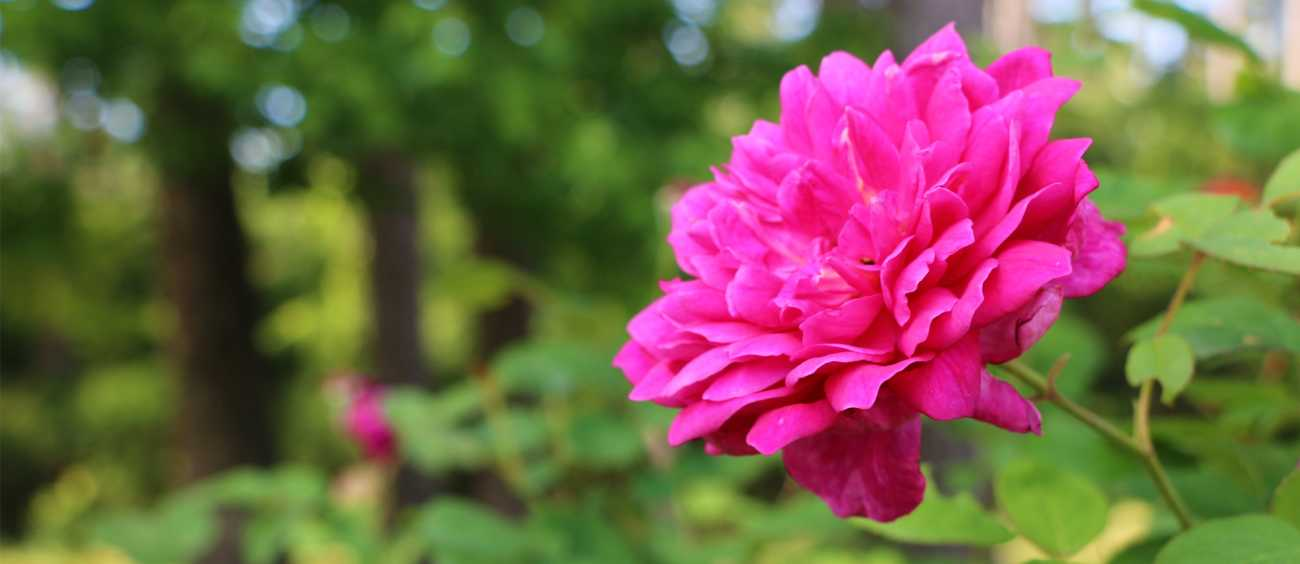 A photo of a blooming rose