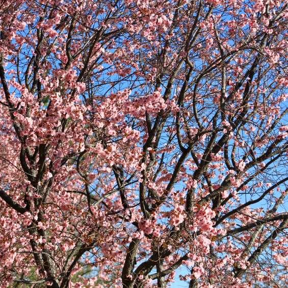 OG - Cherry Blossom Tree