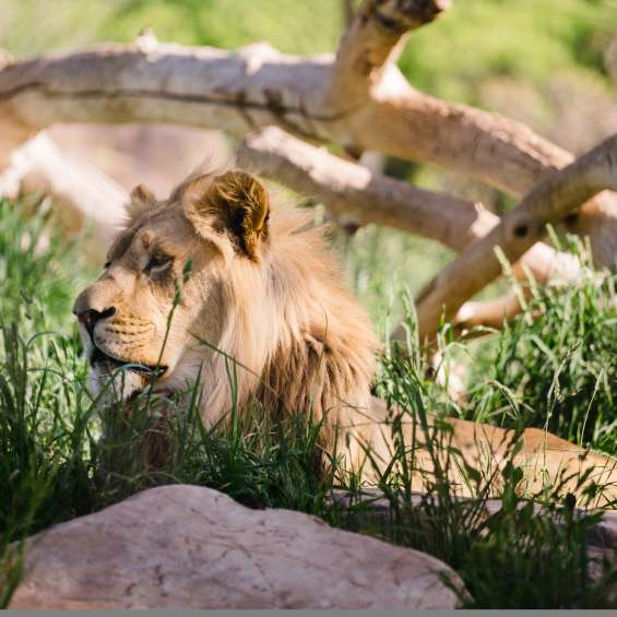 Lion at Utah's Hogle Zoo