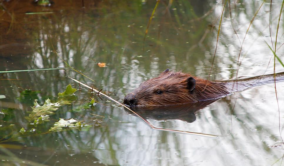 Beaver along Paul H. Douglas Trail