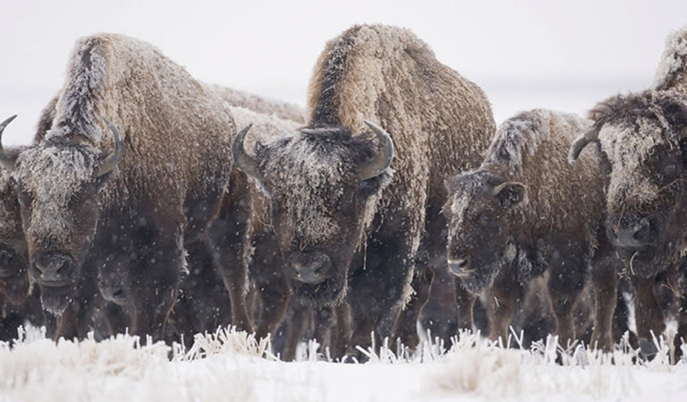 Bison at Kankakee Sands