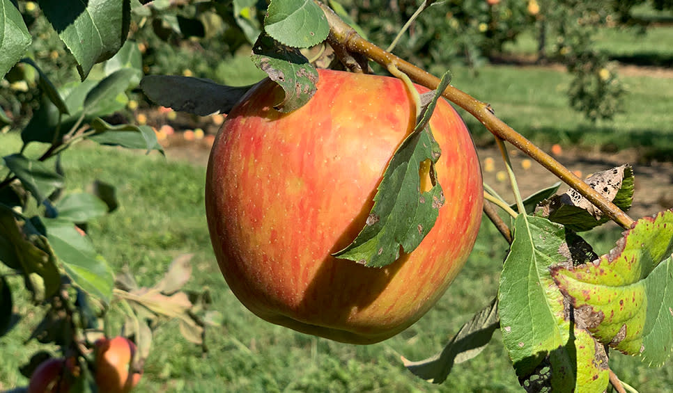 Fair Oaks Farms Orchard - apple on tree