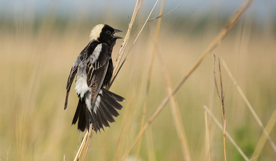 Male bobolink by Chris Helzer