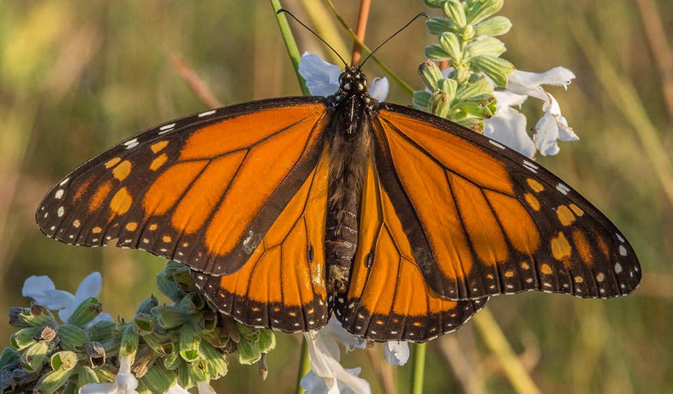 Monarch butterfly by Chris Helzer/TNC