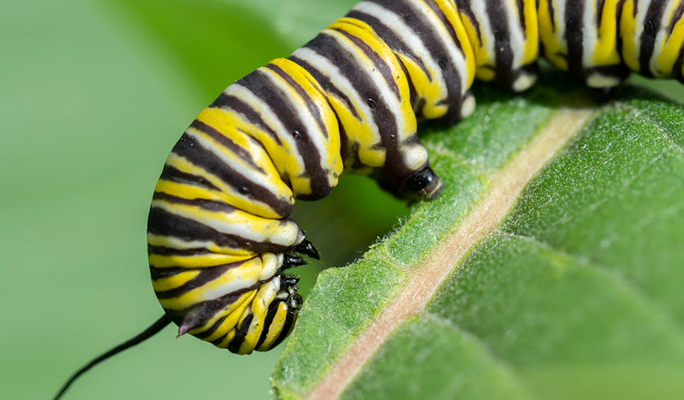 Monarch caterpillar by Chris Helzer/TNC