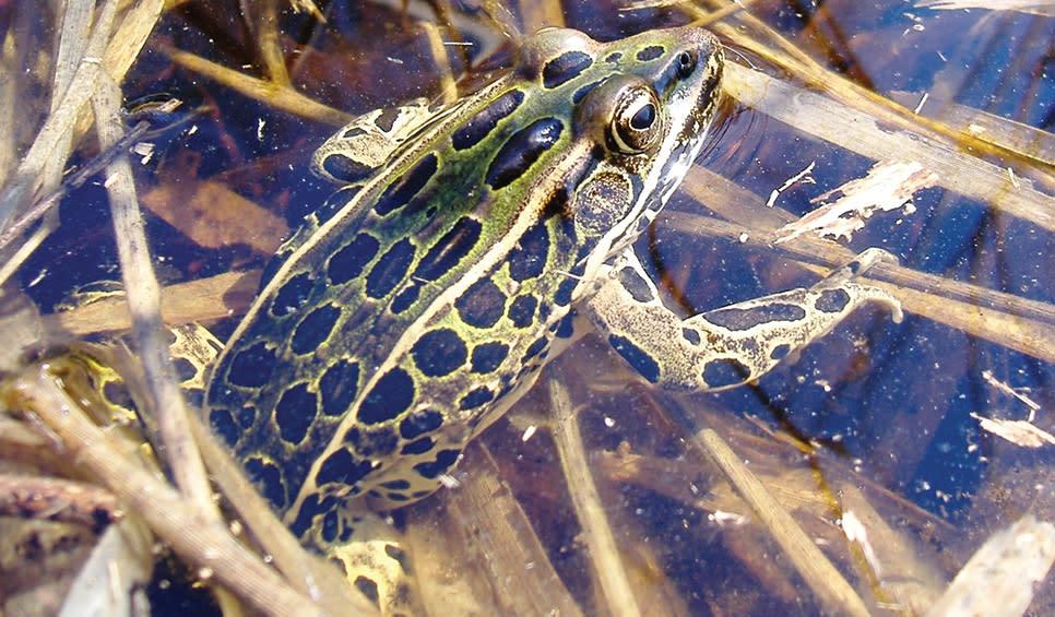 Robert Brodman Leopard Frog Kankakee Sands