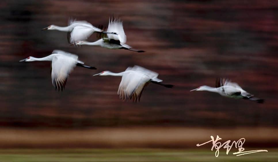 Sandhill Cranes by Chong Wu
