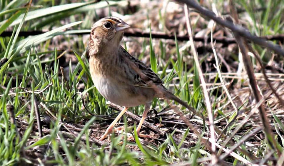 Grasshopper Sparrow by Barb Lucas