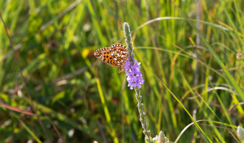 Butterfly on hoary vervain at Kankakee Sands