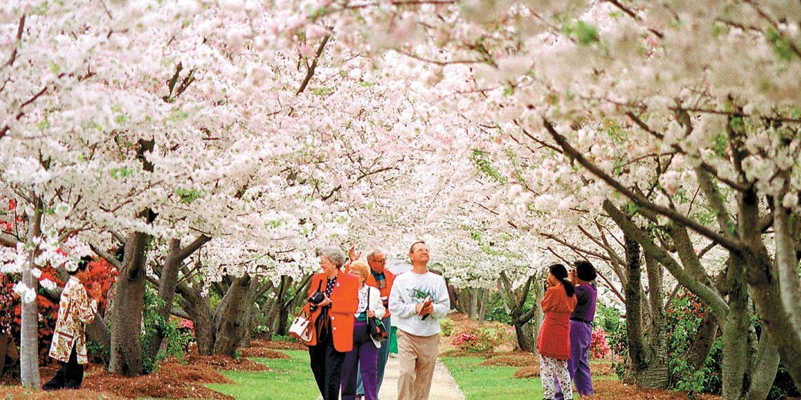 Cherry Blossom Canopy