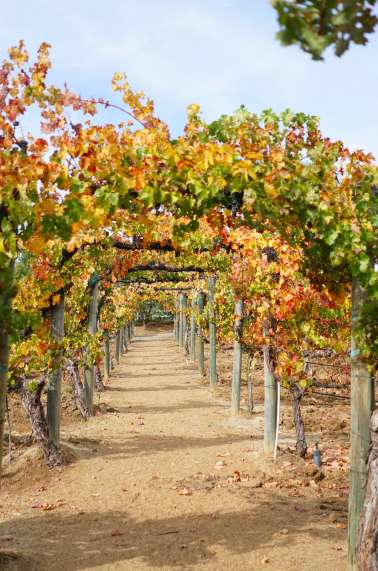 Autumn vineyards in Temecula Valley