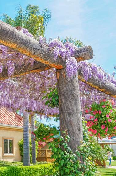 Wisteria South Coast