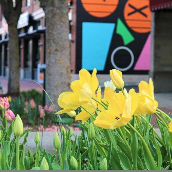 Yellow tulips on Kirkwood by the Graduate