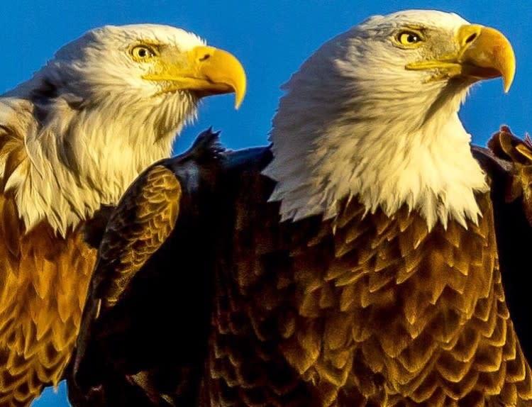 bald-eagles-Jack-Gillum