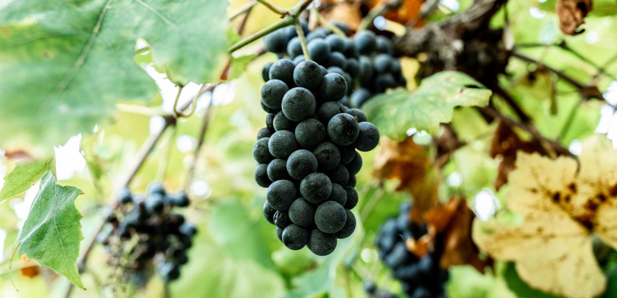 Historic Missouri Wine country grapes/harvest