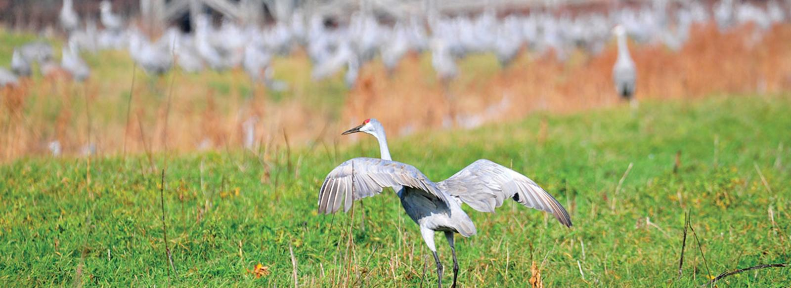 Sandhill Cranes Jasper-Pulaski Fish and Wildlife