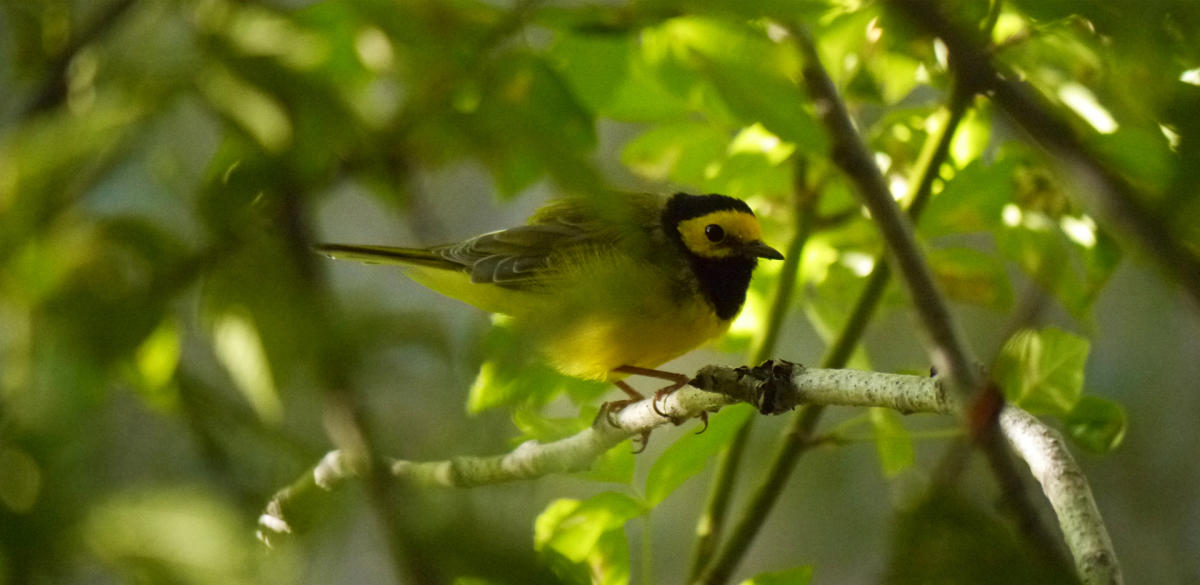 A hooded warbler sits on a tree limb at the preserve, New Mexico Magazine